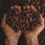 La culture du cacao